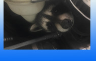 BABY RACCOONS RESCUED FROM ENGINE WHILE CAR IN THE SHOP FOR REPAIRS
